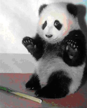 作者:吃光用光  奇迹世界08年首部资料片中最受玩家喜爱的是啥?毫无疑问就是新颖的宠物系统,在那些古灵精怪的宠物感召之下,无数的玩家趋之若骛。现在Webzen为中国玩家重磅打造的国宝熊猫也成为了宠物列表中的一员,相信憨态可掬的熊猫又将引燃新一轮的抢购热潮,只是现在熊猫宠物的名字尚未定论,就让我们一起无责任YY一下。  熊猫阿宝?今夏最炙手可热的明星 今年夏天银幕之上最出彩的明星既不是见龙卸甲的刘帅哥,也不是赤壁中的梁大哥,而是一只憨态可掬的动画熊猫——阿宝。只要是看过《功夫熊猫》的